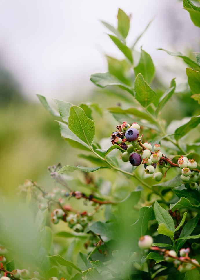 Blueberry bush via forkknifeswoon.com