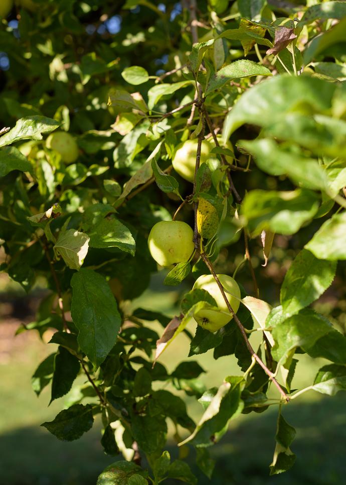 apple trees via forkknifeswoon.com