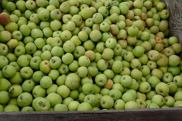 fresh picked apples in bin via forkknifeswoon.com