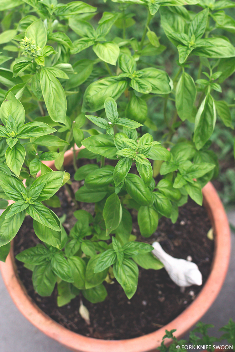 Potted Sweet Basil Plant | Fork Knife Swoon