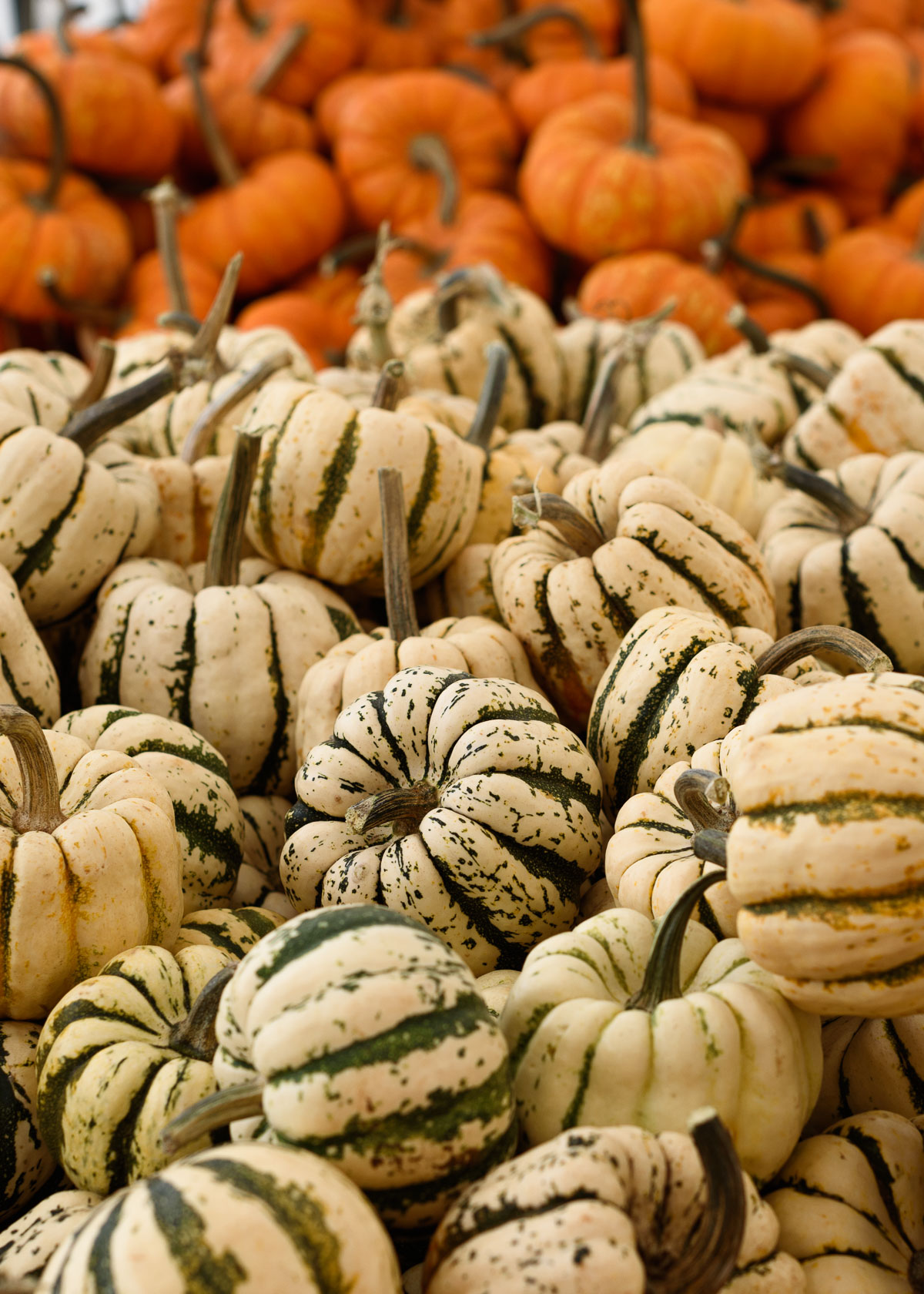 A pile of miniature orange and green and white striped pumpkins at the farmers market.