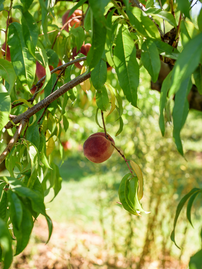 peach picking via forkknifeswoon.com