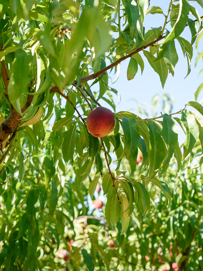 ripe peach hanging on a tree via forkknifeswoon.com