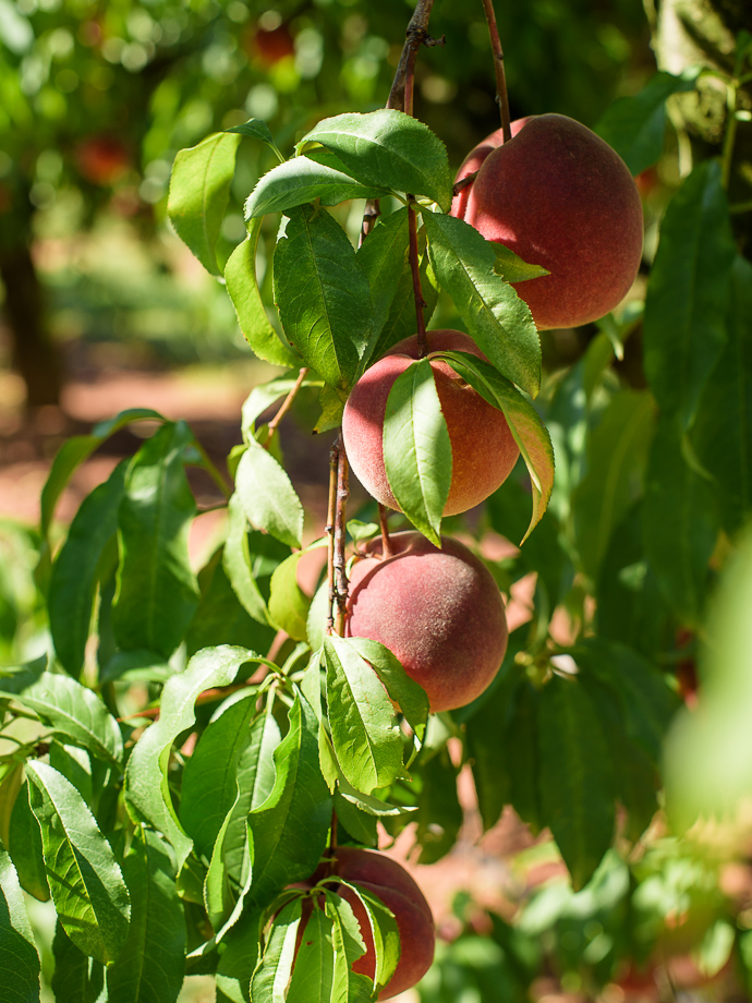 ripe peaches hanging on a branch via forkknifeswoon.com